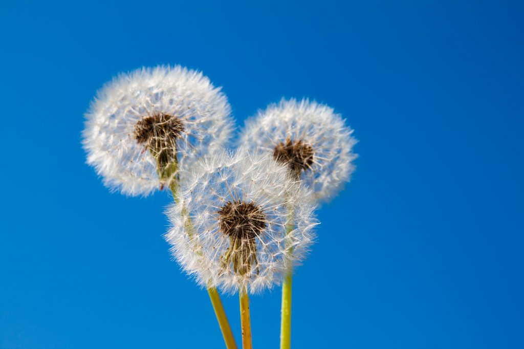 Dandelions against the blue sky. Beautiful background