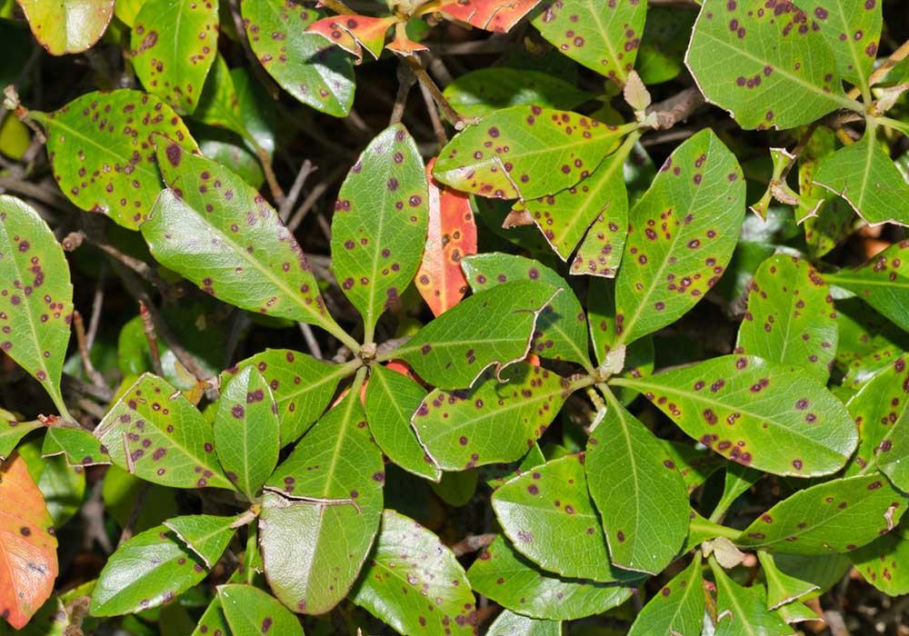 tread tree and leaf spot fungus